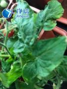 冷冻研磨仪JXFSTPRP-CL研磨番茄叶片的实验